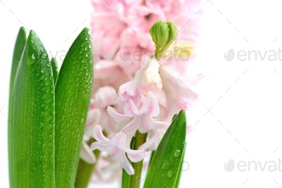 Pink hyacinth with drops of water on a white background