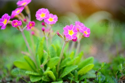 Spring flowers of Primula juliae (Julias Primrose) or purple pri