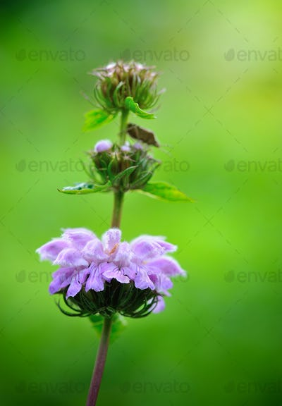 Closeup flowers of Phlomoides tuberosa (Phlomis tuberosa)
