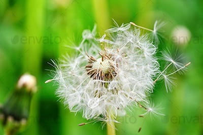 Closeup dandelion seeds on a natural green background