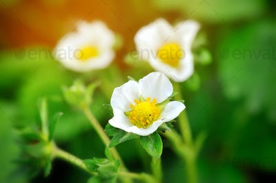 Closeup strawberry flowers on a natural green background