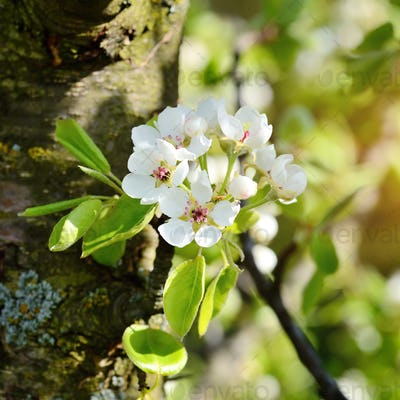 Flowers bloom on a branch of pear in sunlight