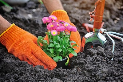 Gardeners hands planting marguerite flowers in garden