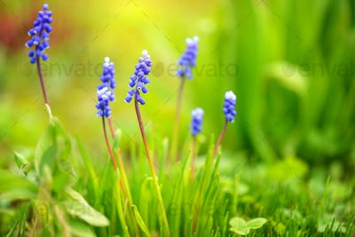 Blue Hyacinth Muscari (Muscari botryoides) in spring sunny day