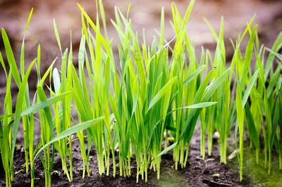 Young  green shoots of wheat at the beginning of their growth, a