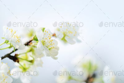 Flowers bloom on a branch of plum. Soft focus