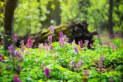 Hollowroot (in Latin: Corydalis cava) blooms in the forest