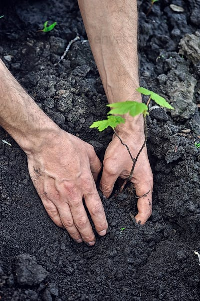Gardener planting a young tree in the soil. Closeup hand of the