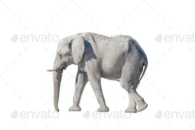 African elephant, isolated on white, covered with white calcrete dust