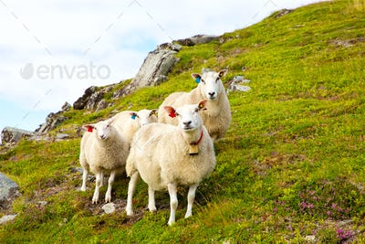 Flock of Lofoten sheep