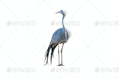 Standing Blue Crane isolated on white