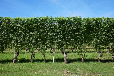 Green vineyard, vine hedge in a sunny day, blue sky