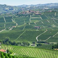 Green vineyards and green Langhe hills in Piedmont, Italy
