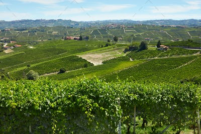 Green vineyards in a sunny day in Piedmont, Italy
