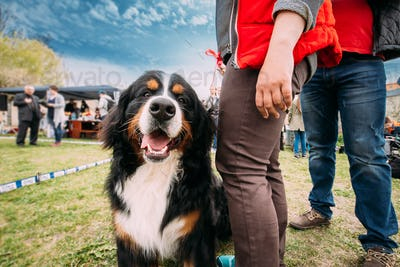 Funny Farm Dog Bernese Mountain Dog Berner Sennenhund Sitting Ne