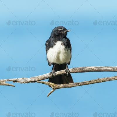 Willie Wagtail on a Branch