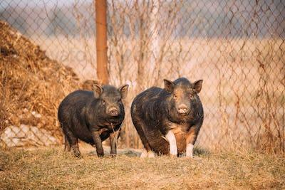 Two Pigs Posing In Farm Yard. Pig Farming Is Raising And Breedin