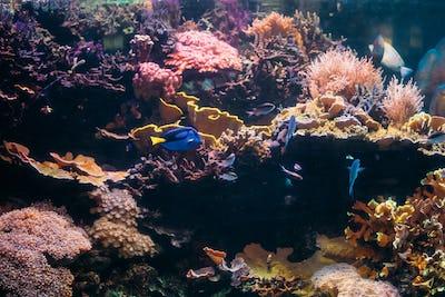 Blue Tang Fish Paracanthurus Hepatus And Chromis Viridis Swimmin