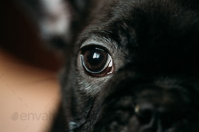 Close Up Eye Of Young Black French Bulldog Dog Puppy. Funny Dog
