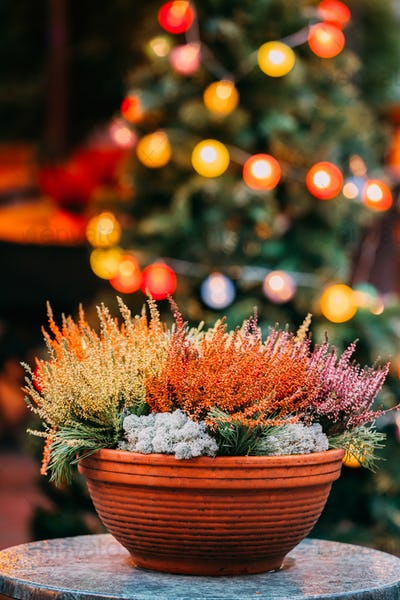 Bush Of Yellow And Red Colors Calluna Plants In Pots In Garden