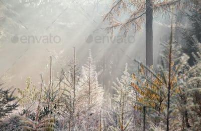 sunbeams in foggy autumn forest