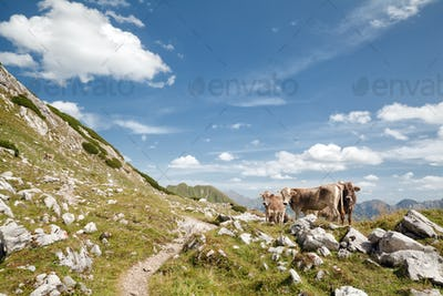 brown alpine cows on pasture in mountains