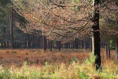 beech tree on autumn morning
