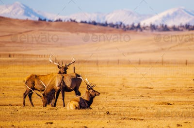 Colorado Mountains Elks