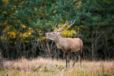Majestic adult red deer roaring in autumn forest. Rutting season