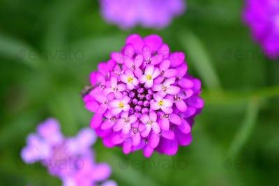 Small purple flowers Iberis umbellate in summer in a garden