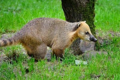 Cute coati (Nasua), wild animal looking like raccoon