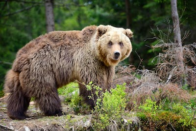 European brown bear in a forest landscape at summer. Big brown b