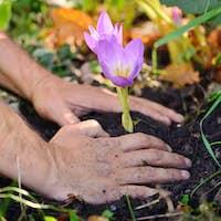 Gardeners hands planting flowers (Colchicum autumnale) in a gard