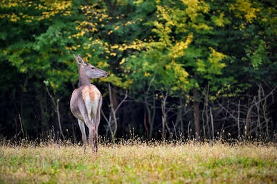 Female Red deer standing in autumn forest. Wild animals in natur
