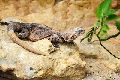 A Common Chuckwalla (Sauromalus ater) sitting on a stone