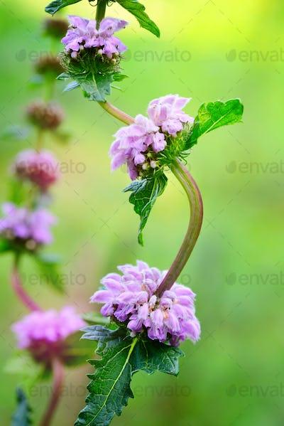 Flowers of Phlomoides tuberosa (Phlomis tuberosa)