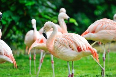 Pink flamingos (Phoenicopterus roseus) against green background