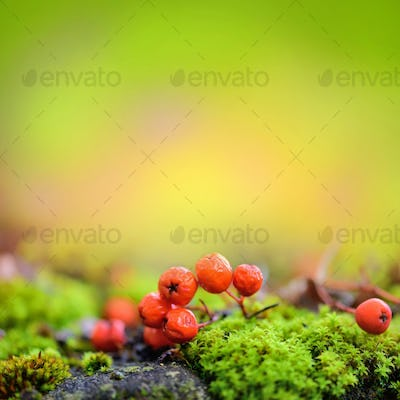 Autumn background with rowan berries on green moss