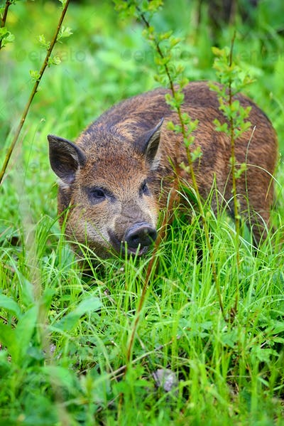 Wild boar in grass, before a forest