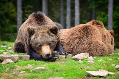 European brown bears in a forest landscape at summer. Big brown