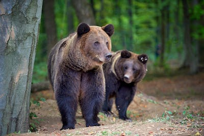 European brown bears in a forest landscape at autumn. Big brown