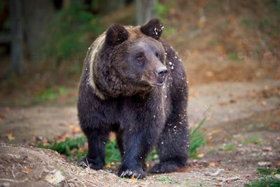 European brown bear in a forest landscape at autumn. Big brown b
