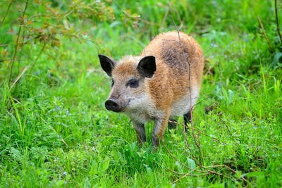 Young wild boar in the spring forest