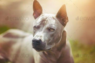 thai ridgeback dog outdoors