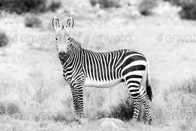 Monochrome Mountain zebra in the Mountain Zebra National Park