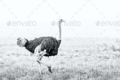 Monochrome Ostrich running in the mist