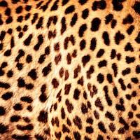Beautiful leopard skin background