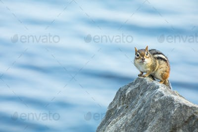 Eastern Chipmunk - Tamias striatus, perched on a rock