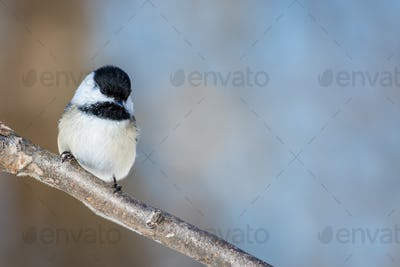 Black-capped Chickadee - Poecile atricapillus, perched on a frosty branch