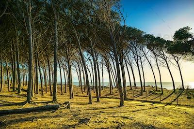 Italian Maritime Pine tree pinewood forest and sea. Marina di Ce